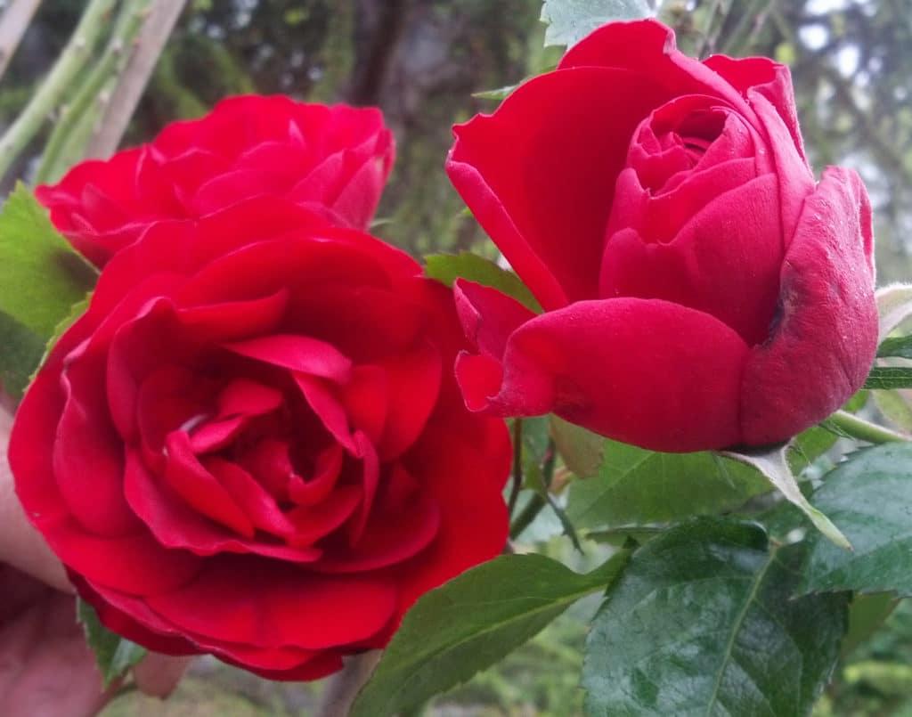 Ortensie Rosa Cura : Amadeus kordes rosa rampicante metri la del