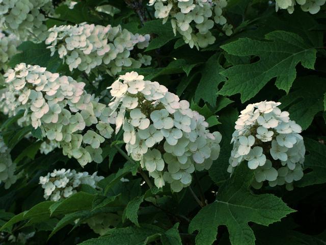 Snowflake hydrangea ortensia quercifolia for Ortensia quercifolia