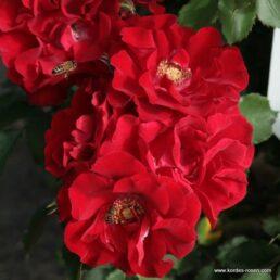 Rosa Kordes Roter Korsar