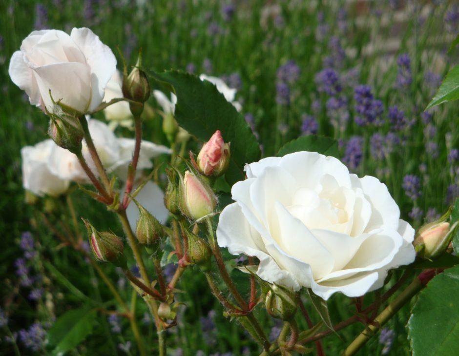Ortensie Rosa Cura : Iceberg kordes rosa cespuglio arbusto medio la del