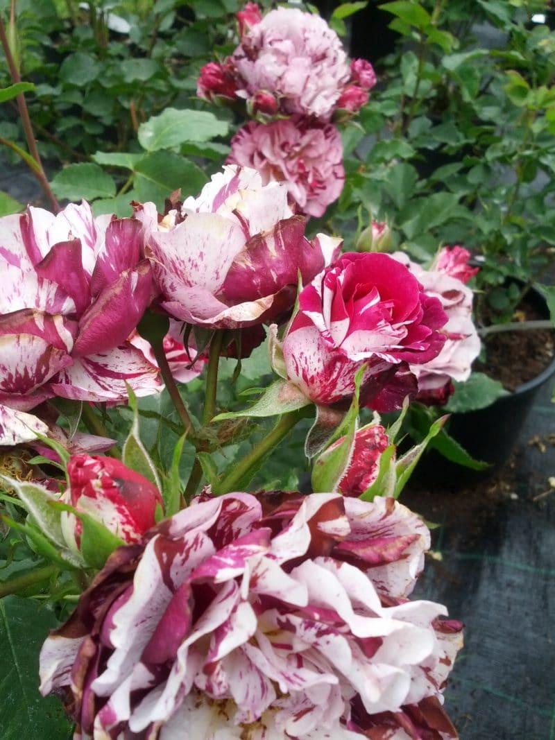 Rosa Rampicante In Vaso new imagine dorieux rosa rampicante medio