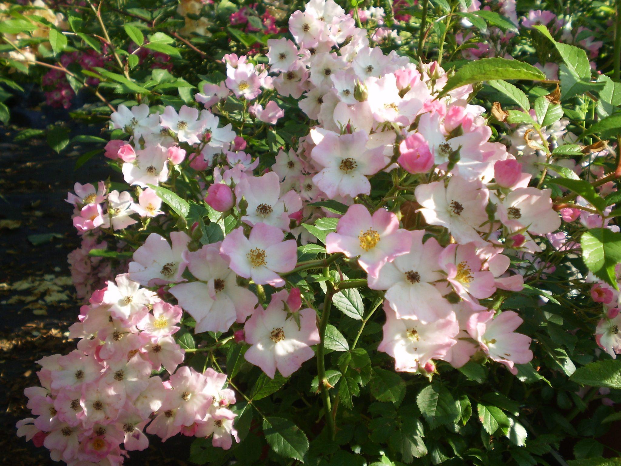 Rose Rampicanti Senza Spine ballerina clg. rosa rampicante 2-5 metri