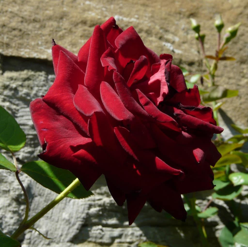 Velvet star роза все для заколок купить