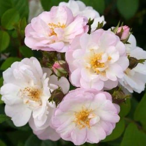 Ortensie Rosa Cura : Perennial blush tantau rosa rampicante metri la